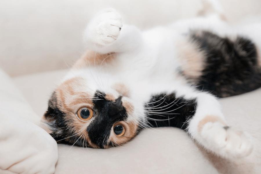 petissimo macska