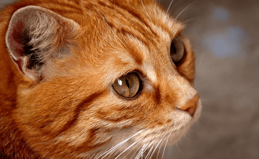 petnet macska