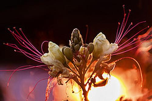 caro kvetov